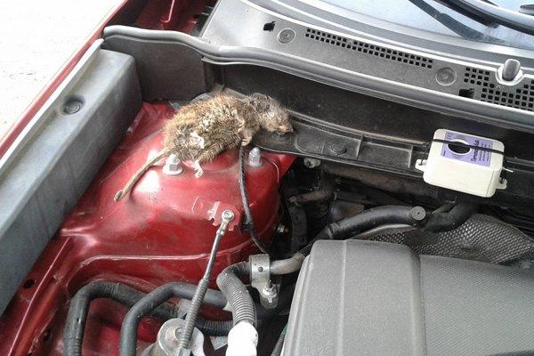 Odporný nález. Vo svojom aute našiel už druhú zdochlinu potkana.