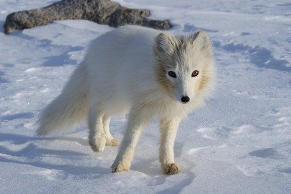 Líška polárna.