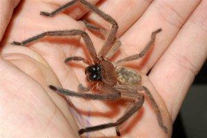 Mýtus: Za život nevedomky zjete počas noci dvestotisíc pavúkov.