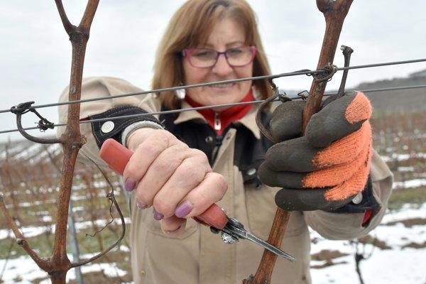 Na snímke strih viniča v tokajskom vinohrade spoločnosti J&J Ostrožovič v Malej Tŕni.