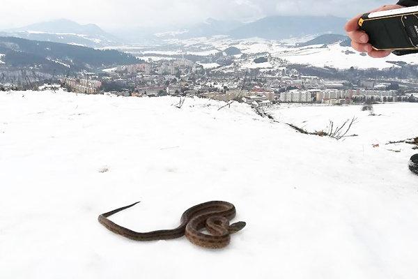 Vretenicu našli vjanuári nad sídliskom Brezovec.