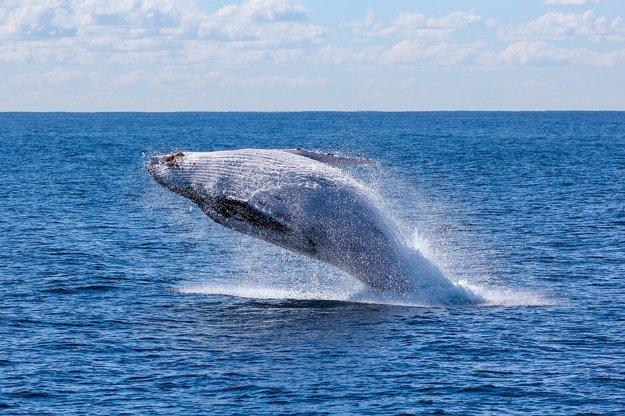 Azory: Pri pobreží sú početné výskyty veľrýb.
