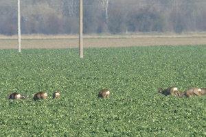 Zvieratá vidieť pásať sa aj na poliach pred Levicami.