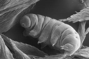 Tardigrady sa často vyskytujú v machoch, kde jedia rastlinné bunky alebo malé bezstavovce.