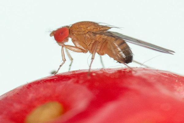 Drosophila suzukii.