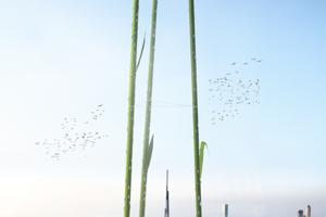 Steblá sú podľa vzoru bambusu rýchlorastúce biotektonické konštrukcie s rýchlosťou rastu vo vegetačnom období priemerne 16,4 m denne.