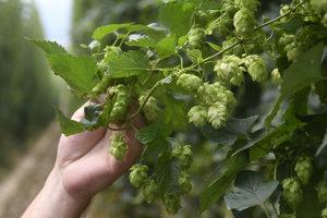 Žatecký poloskorý červenák sa pestuje len v Česku a na Slovensku. U nás v Trenčianskej Turnej, Nemšovej, Čachticiach a v Soblahove.