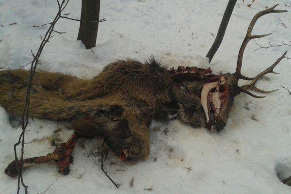 Zvyšky jeleňa, ktorého strhla vlčia svorka.