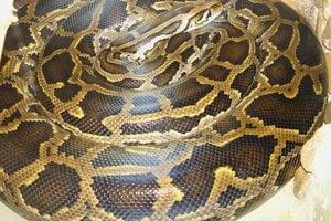 Väčšina hadov naozaj prdí. Často pri vyprázdňovaní. Ich vetry často veľmi smrdia.