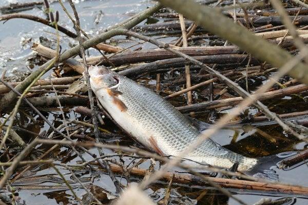Na snímke uhynutá ryba v rieke Kysuca v obci Podvysoká pri Čadci.