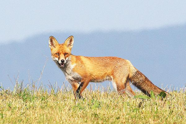 Líška je najčastejším zdrojom nákazy besnotou.