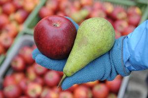 Bio jablká v záhradkárskej lokalite Bankov v Košiciach.