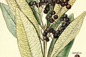 Nákres plodov pimetovníka, z ktorých sa získava čierne korenie.