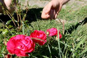 V obci vysadia ruže.