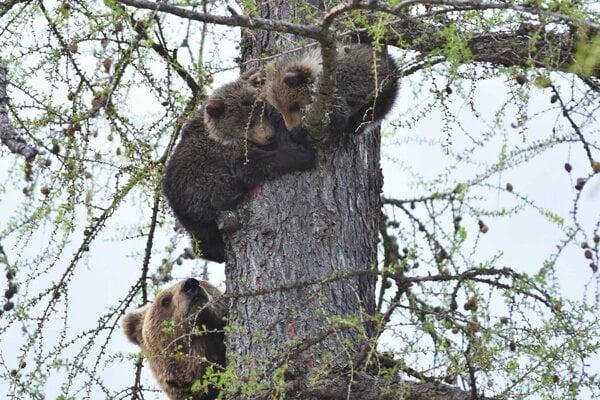 Medvieďatá ešte spolu s mamou.