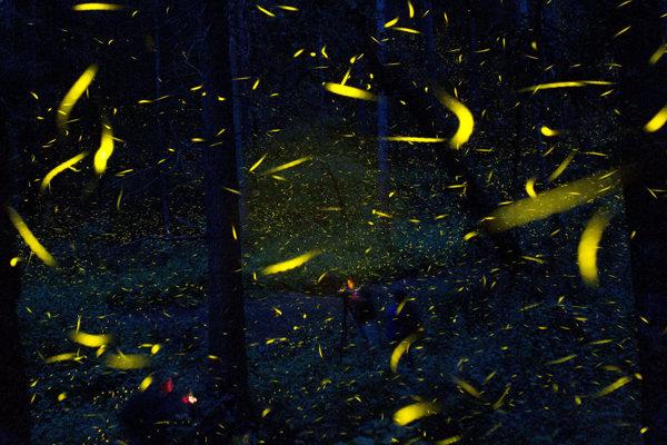 K najkratším nociam patria svätojánske mušky.