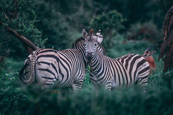 Pásikmi sa môžu zebry chrániť pred hmyzom, predátormi aj chladom. Jedna z hypotéz nie je pravdivá.