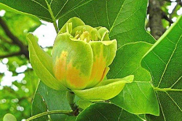 Aj tento rok mohli Dolnokubínčania, využívajúci skratku z Nemocničnej ulice do Tesca, obdivovať jedinečné kvety na strome.