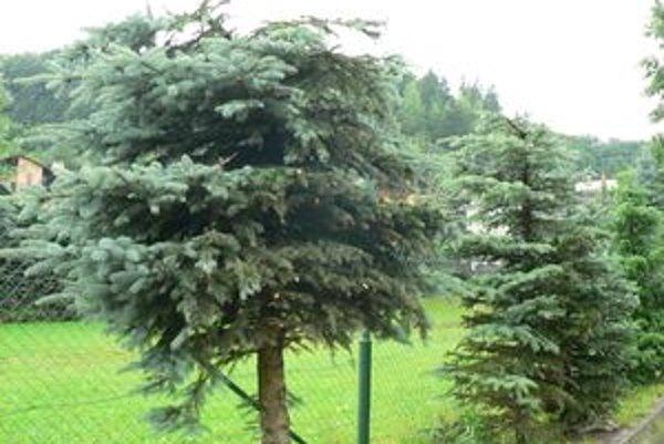Bez vrcholcov. Mesto ich dalo spíliť v období, kedy to môže stromom ublížiť.