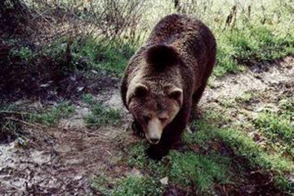 Medvede sa po zime prebúdzajú.