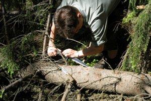 Lesník František Poleta z OZ Námestovo kontroluje účinnosť insekticídu na otrávených a navnadených lapákoch.