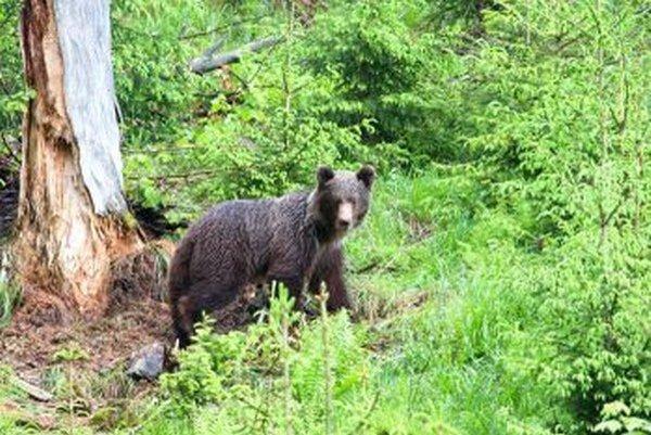 Medveďov v lesoch Turčania často stretávajú.