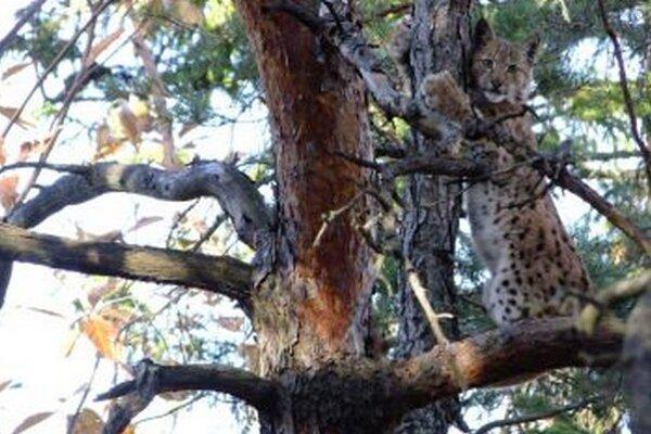 Mladý rys sa chcel skryť na strome.