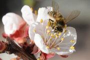 Včela zbiera peľ z kvetu rozkvitnutej marhule.
