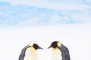 Pár tučniakov cisárskych s ich šesťmesačným mláďaťom v zálive Atka v Antarktíde.