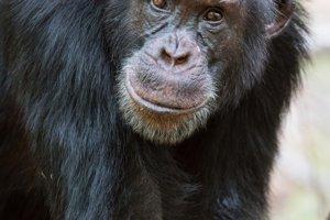 Na začiatku príbehu vedie David skupinu šimpanzov už tri roky, keď väčšinu samcov už zosadia.