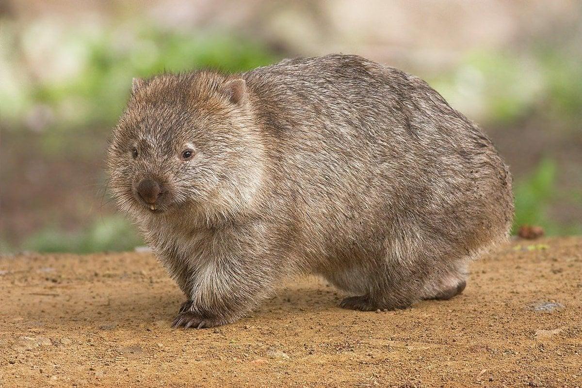 Vombat  Jediné zviera na svete má výkaly v tvare kocky - tech.sme.sk 83da52953d7