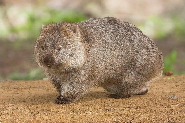 Vombat medveďovitý žije iba v Austrálii. Je známy tým, že má výkaly v tvare kocky.