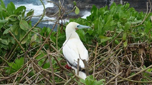 Sula sula vo vtáčej rezervácii pri majáku Kileaua