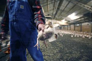 Farmár ukazuje trojmesačnú kuru na farme v Texase.