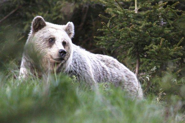 Ďalším dôkazom toho, že medvede nie sú výsostne teritoriálne, je aj fakt, že v jednom obilnom poli, kde majú možno až prebytok potravy, sa dajú aj niekoľko dní po sebe súčasne sledovať napríklad rôzne vodiace medvedice, dospievajúce jedince a dospelé samc