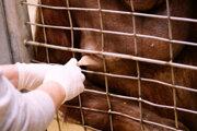 Ošetrovateľka primátov Erin Stromberg získava mliekov z 21 ročnej orangutanky Batang v Národnéj Zoo v americkom Washingtone D.C.