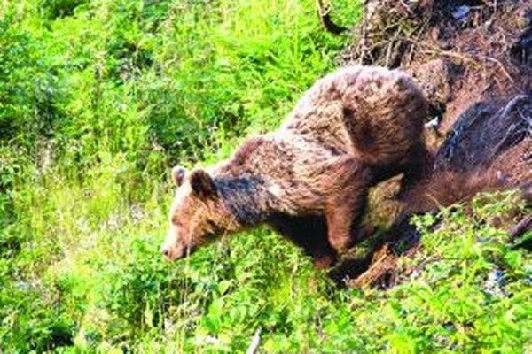 Problémy, ktoré robí medveď v Liptovských Revúcach, sú čoraz väčšie.