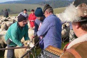 V osemstokusovom stáde hľadajú majitelia ovce podľa parôžkov.