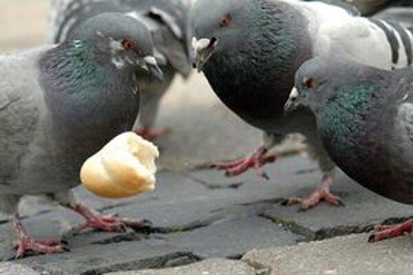 Voľne žijúce holuby predstavujú problém pre všetky mestá. Pri chove holubov doma by sa mohli obe strany dohodnúť.