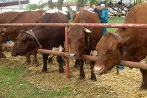 Pinzgauský dobytok sa výbornou pohylivosťou v kombinácii s dobrou mäsovou a mliekovou úžitkovosťou hodí do hôr.
