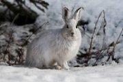 Zajac meňavý v zimných mesiacoch zje aj mäso z mŕtvol iných zvierat.