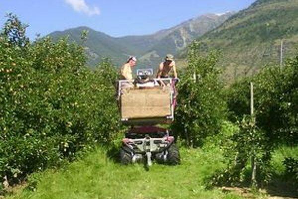 Prácu v talianskych jablkových sadoch ľudia vyhľadávajú. Medzi spostredkovateľmi je ale veľa podvodníkov.