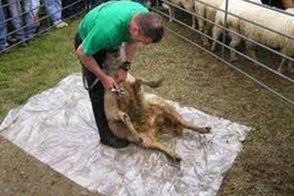 Súťažiaci budú strihať ovce vo veku dva až šesť rokov, rozhodujúci bude čas a kvalita.