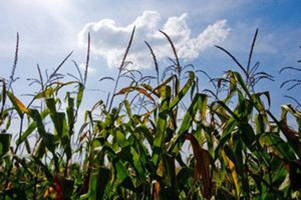 Kradnúť kukuricu z polí sa neoplatí, zlodej môže ísť za mreže.