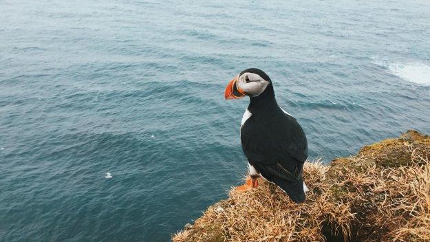 Islandské vtáky Alky