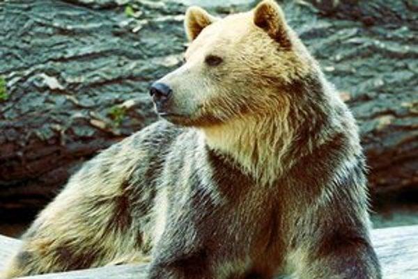 Len v okolí Vlkolínca má svoje teritórium približne desať medveďov rôzneho veku.
