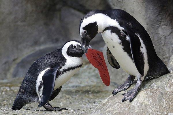 Aj tučniaci v kalifornskom centre vedy dnes oslavujú Valentína.