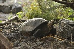 Na galapágskom ostrove Ferdinanda nevideli korytnačku viac ako storočie.