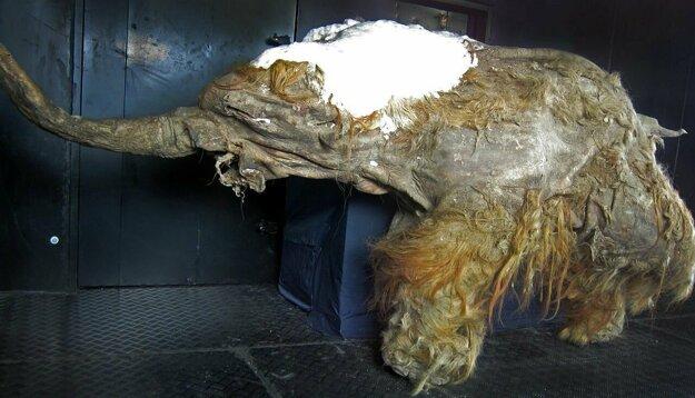Vystavené zostatky samice mamuta Juka, ktorú objavili v roku 2010.