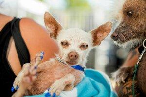 Trinásťročná čivava menom Pork sa súťaže o najškaredšieho psa zúčastnila v roku 2015.